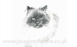 "Pencil drawing of a cat called ""Monkey Moo"""