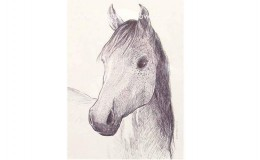 "Biro drawing of ""Stella"" a young Anglo-Arab"