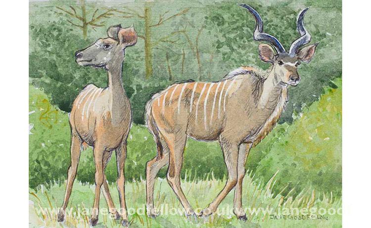 Kudu carefully courting